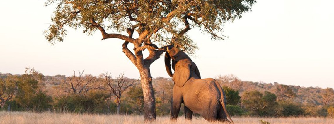 Elephant eating from a Marula tree © 123RF