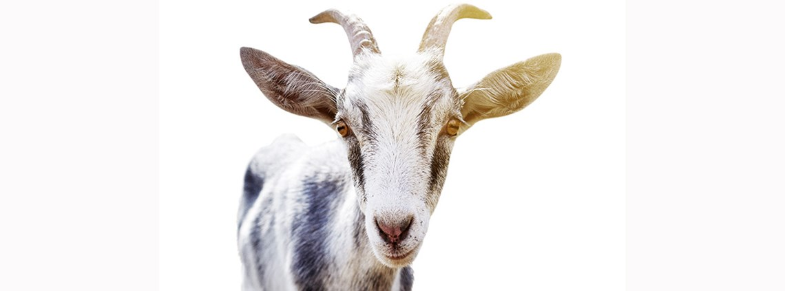 Goat meat will soon be on sale at a supermarket near you