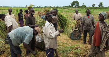 Dangote Rice will launch a 25,000-hectare scheme to back growing demand © Jeremy Weate