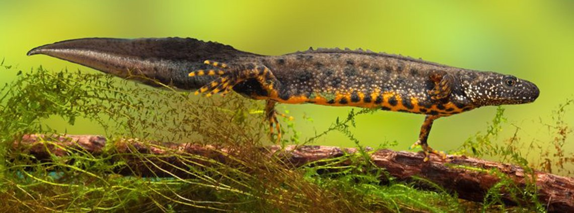 MPs are set to amend EU law on natural habitats, meaning bad news for the 75,000 great crested newts that reside in Britain