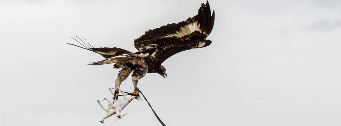 Eagles are the latest weapon employed in the war against drones ©Armée de l'air