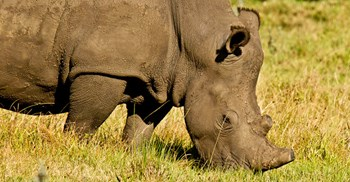 Rhino horn is made of Keratin and sold in powder form as a cure for diseases in Asia © 123RF
