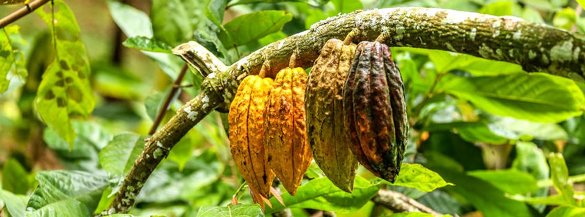 Growers in the cocoa industry plan to coordinate production to control supply © 123RF
