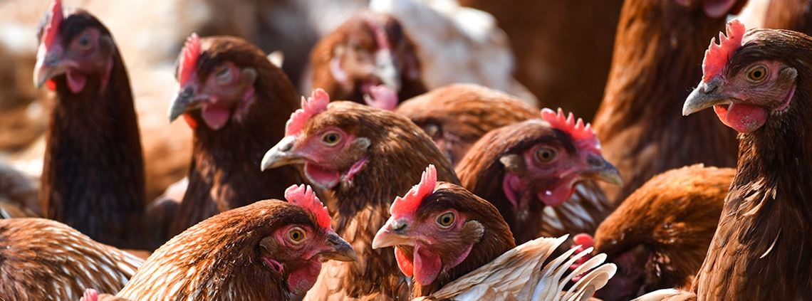 South Africa suspended all imports of live birds, poultry meat and eggs from Zimbabwe as soon as it was notified ©PA Images