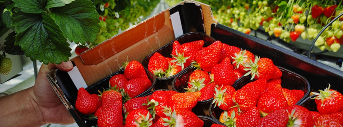 Strawberries make up 5-10% of Egypt's agricultural exports @ PA Images