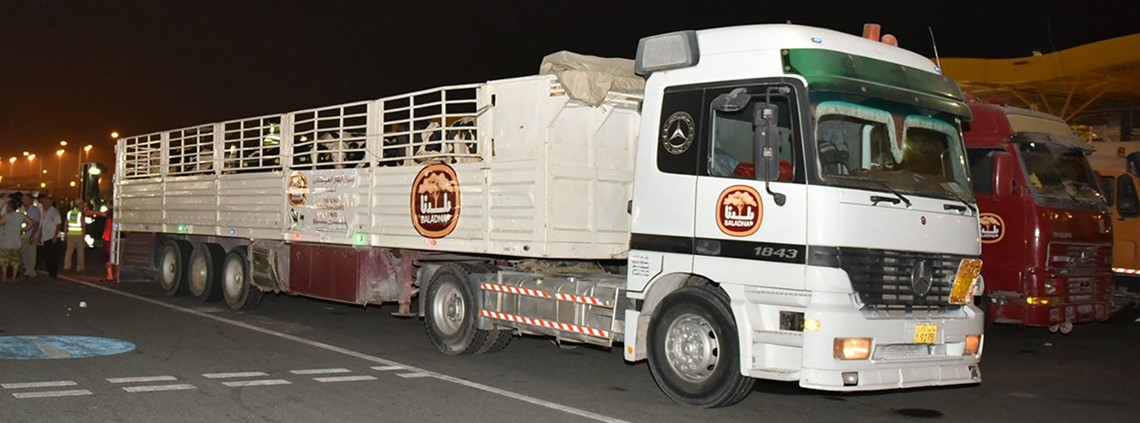 Baladna said it would receive a further 4,000 cows from Australia and the US © Baladna