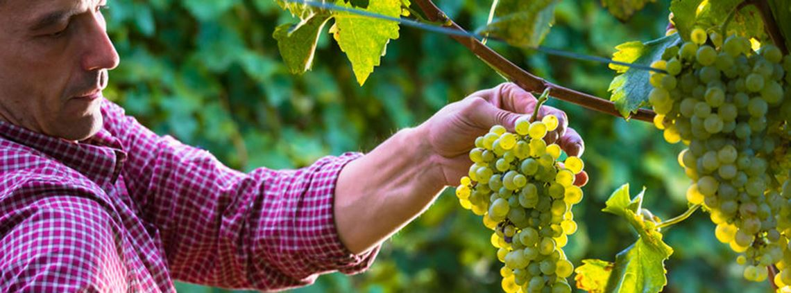 Some producers have started harvesting grapes two weeks earlier than normal ©123RF