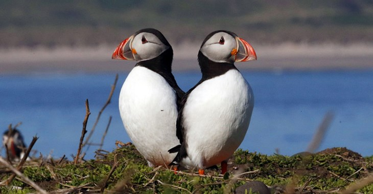 RSPB Scotland is concerned a wind farm will impact bird colonies including puffins ©PA Images
