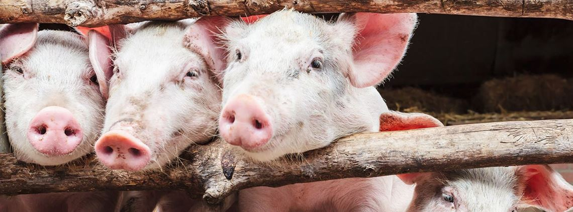 The virus has been found in pigs in Germany and Holland © 123RF