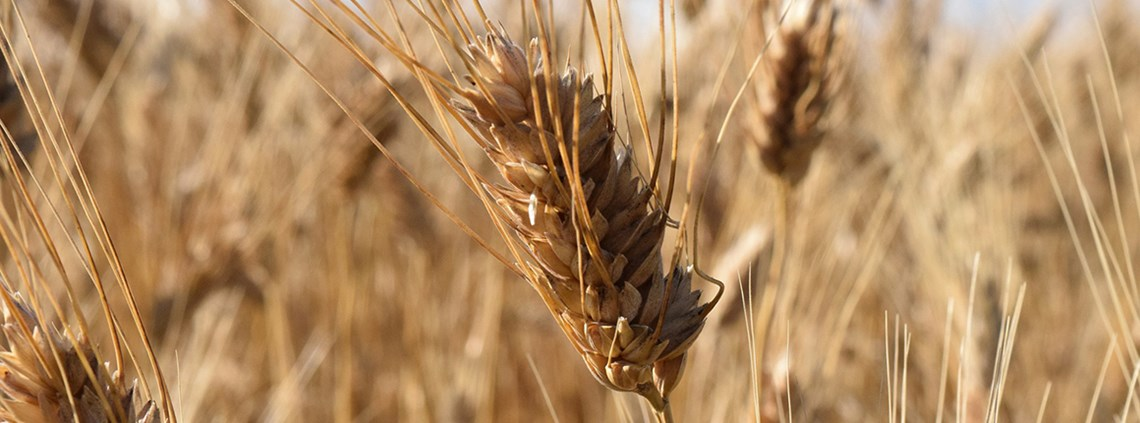 The report suggests investing in drought-tolerant durum wheat to diversify food supply chains © PA Images