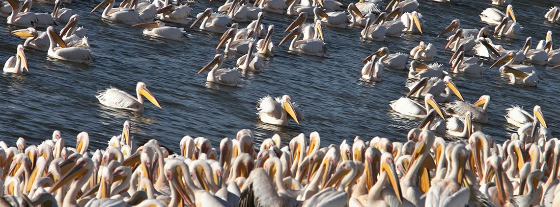 Up to 100,000 pelicans pass through Israel each year on their migration © Xinhua News Agency/PA Images