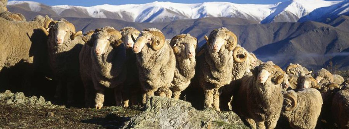 The NZMC said the deal reflected the high value of the country's merino wool © NZ Merino Company