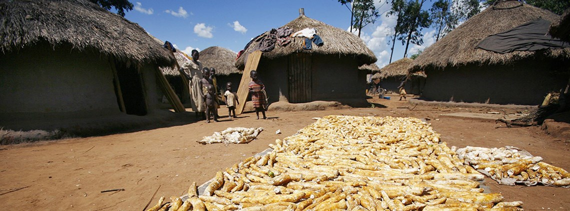 Diseases affecting cassava threatens the food security of an estimated 30m farmers in East and Central Africa ©PA Images