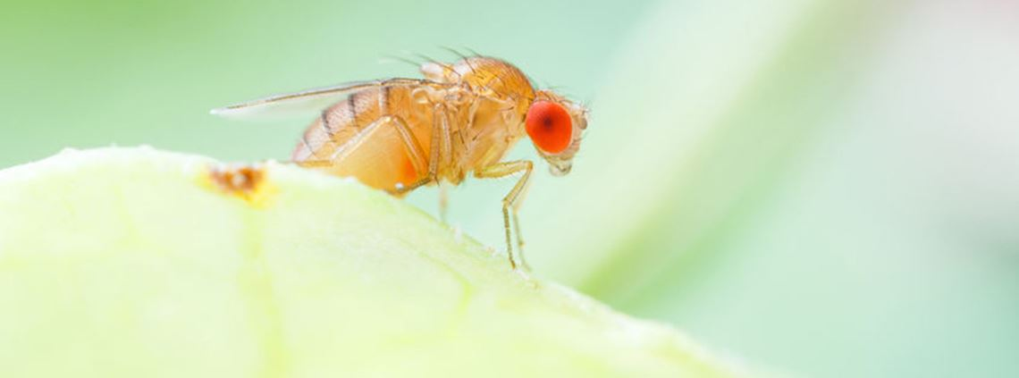 Fruit fly was found at a Tasmanian grocery store and traced back to a fumigation facility in Victoria © PA Images