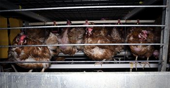 Footage released by Animal Equality showed sheds full of cages overcrowded with hens © Animal Equality