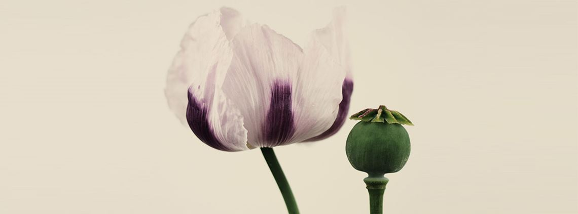 Papaver somniferum ©Getty Images