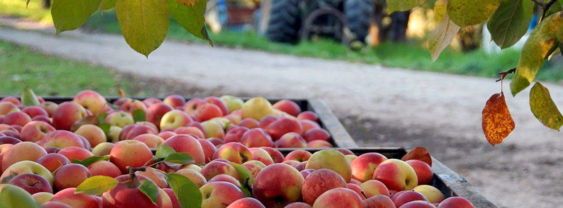 "An ""excess of apples"" has left some growers surplus to requirements ©Anthony Hall/stock.adobe.com"