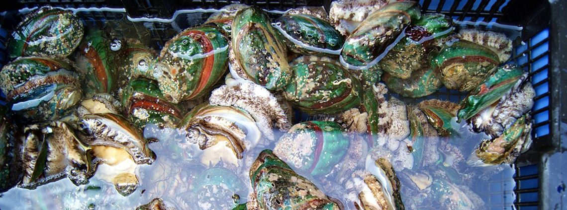 In the last 18 years, $891m worth of abalone have been illegally harvested. ©whaihs/123RF