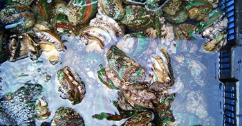 In the last 18 years, $891m worth of abalone have been illegally harvested, said a report. ©whaihs/123RF