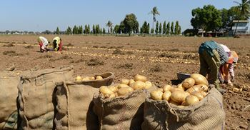 Potato farmers in western India were growing the potato designed for the production of Lay's Potato Crisps. © AFP/Getty Images