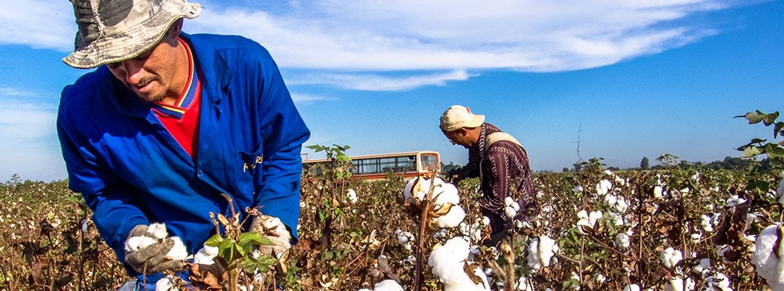 Cotton fields in Sao Paulo, Brazil - Brazil produces the highest volume of sustainable BCI cotton. © Getty Images