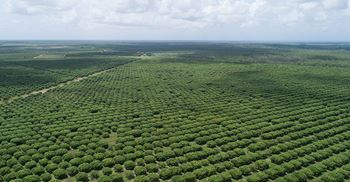 Supply chains of agricultural products, such as mangoes, will be studied. ©  Mango Plantation Norther Territory Australia