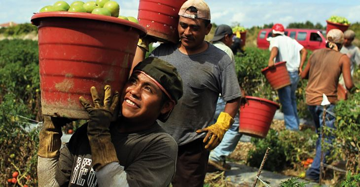 WSR schemes train tomato pickers in Florida (where the fruit is picked green for ease of transit) to understand their rights ©Getty Images