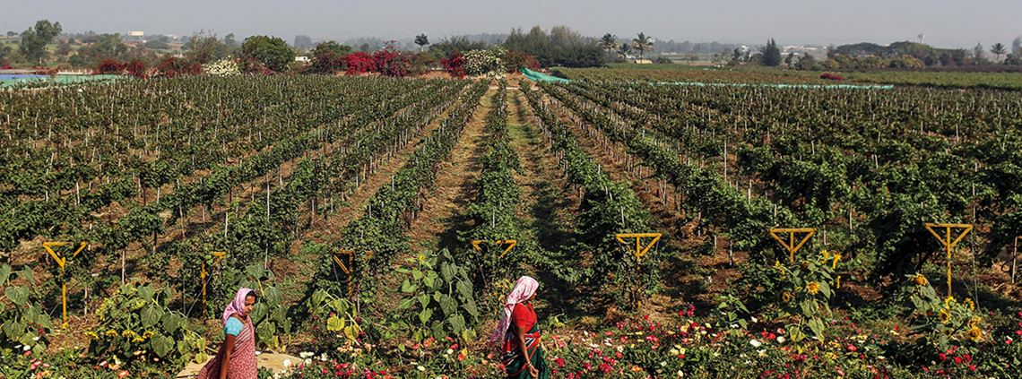 Sula Vineyards has cut water use and increased its recycling and onsite renewable energy share ©Dhiraj Singh/Bloomberg/Getty Images