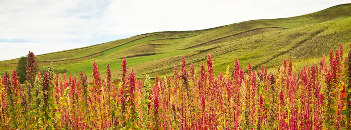 Quinoa, grown in South America, is used as a meat substitute. © Fotos 593/Stock Adobe