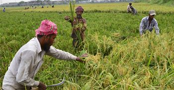 Bangladeshi farmers have lost crops but national reserves of rice will soften blow to rice stocks. © Mamunur Rashid/NurPhoto via Getty Images