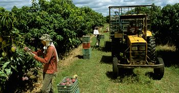 Oxfam found evidence of poverty and lack of health and safety for mango pickers in Brazil. © Images/SambaPhoto