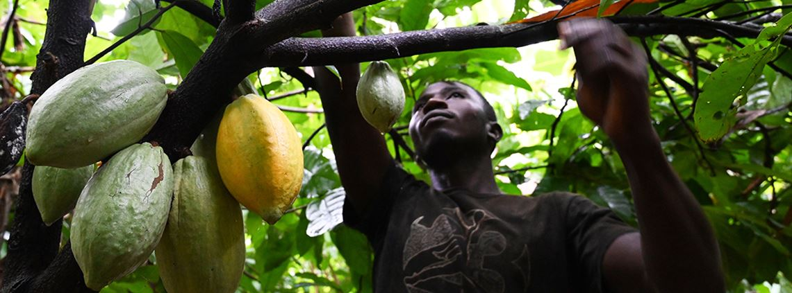 Reports found certified cocoa farms in protected forests in Côte d'Ivoire © AFP/Getty Images