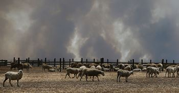 Approximately 100,000 livestock has been destroyed so far on Kangaroo Island. © Lisa Maree Williams/Getty Images