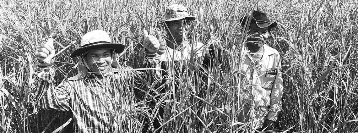 Thai rice growers, supported by agribusiness Olam, have been trained in sustainable practices that increase their crop yields ©Olam