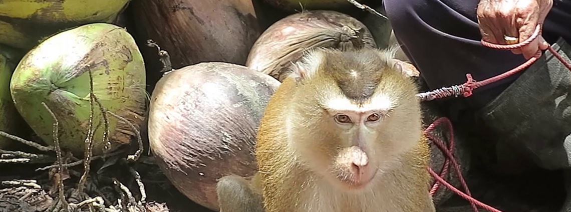 Monkeys were kept tethered and forced to climb trees and pick coconuts for export © PETA