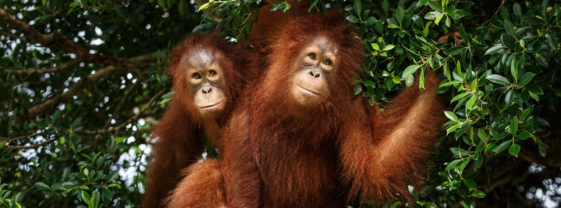 Deforestation as a result of palm oil production in Southeast Asia threatens species such as orangutans © Getty Images